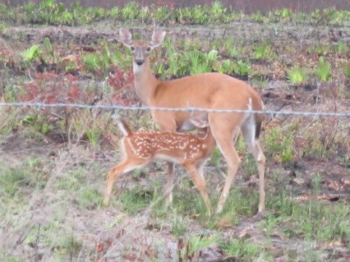 Doe and her Fawn, Three Lakes WMA