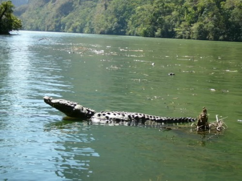 American Crocodile, Backpacking in Mexico