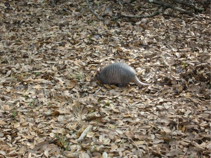 Armadillo, lake kissimmee state park