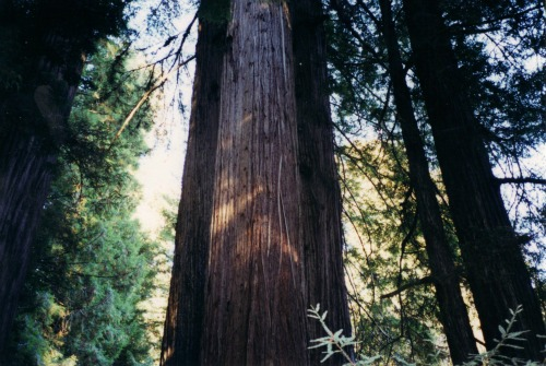 Awesome Redwood Trees!, Redwoods National Park