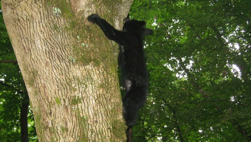 Bear Cub Climbing Tree, great smoky mountains national park
