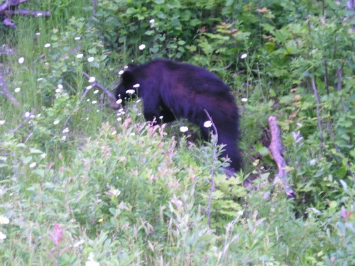 Black Bear, backpacking in michigan