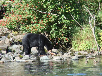 Black Bear, canyon creek trail