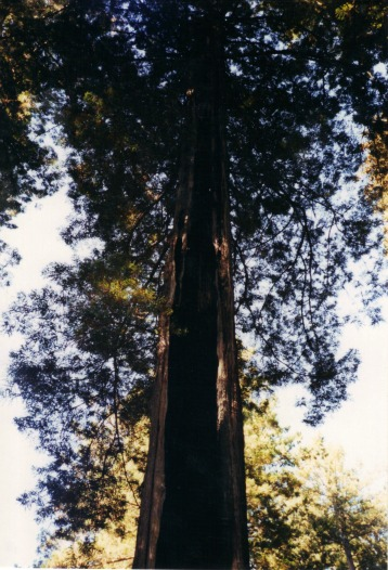 Burned Out Redwood Tree, Redwoods National Park