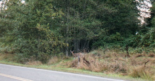 Deer, olympic national park