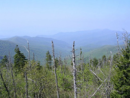 Dying Trees, appalachian trail tenn