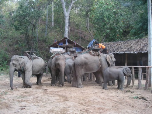 Mae Hong Son Loop, Local Elephants
