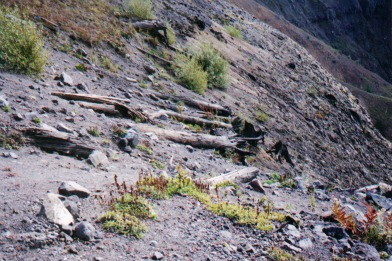 Flattened Forest, mount st helens