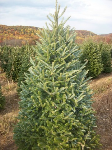 Fraser Fir, Black Mountain Campground