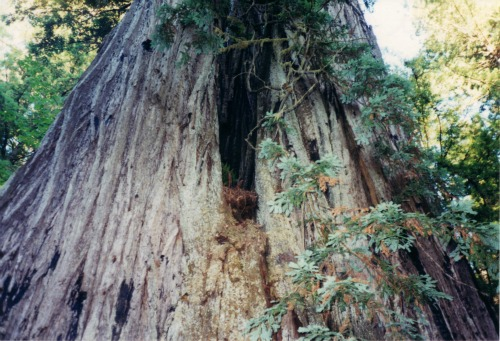 Giant Redwood!, Redwoods National Park