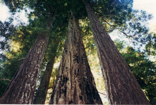 Huge Redwood trees!, Redwoods National Park