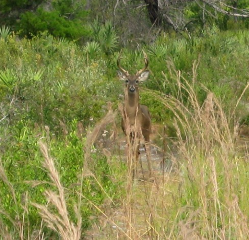 Large Buck Deer!, jonathan dickinson state park