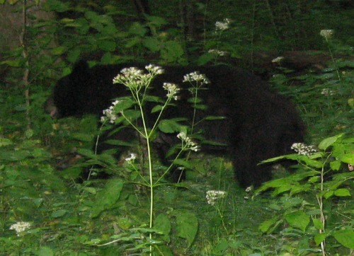 Large Mother Bear!, great smoky mountains national park