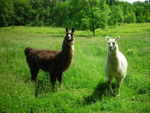 Llamas, backpacking destinations