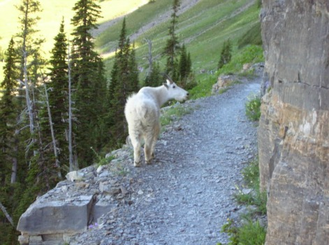Mountain Goat, Highline Trail