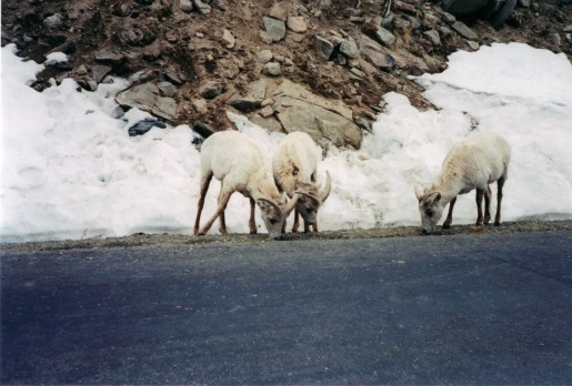 Mountain Goats, Rocky Mountains Colorado
