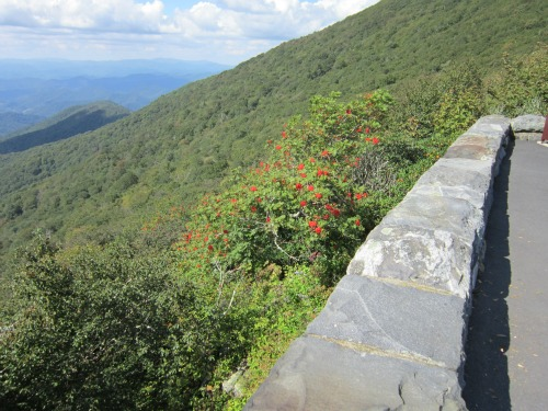 Beautiful Mountain Laurels!, mount mitchell state park
