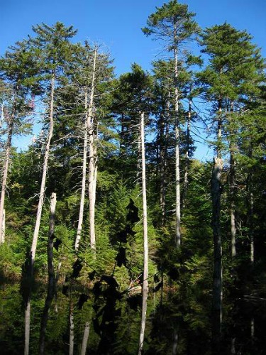 Stands Of Red Spruce, Black Mountain Campground