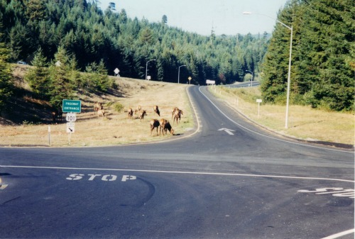 Roosevelt elk, Redwoods National Park