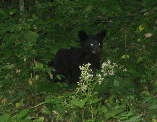 Second Small Bear Cub, great smoky mountains national park