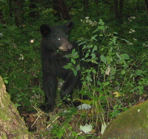 Small Bear Cub, great smoky mountains national park