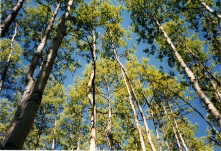 Tops of Aspen Trees, colorado backpacking