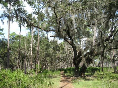 Very Large Beautiful Oak Tree, lake kissimmee state park