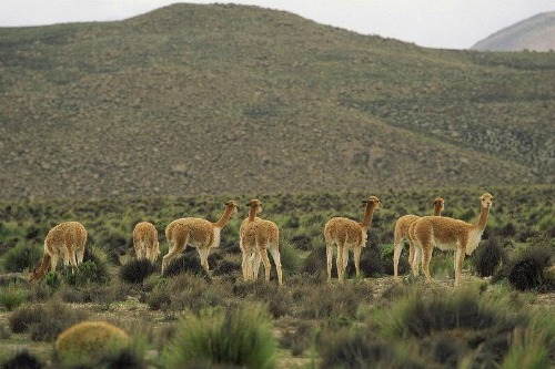 Vicuñas, backpacking destinations